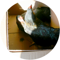 new-chickens-coop