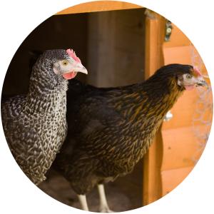new-hens-coop