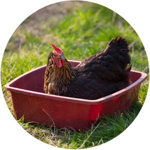dust-bath-chicken